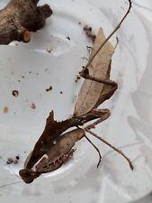 Praying mantis, Dead Leaf Mantis (Deroplatys dessicata) nymphs L3/L4