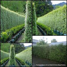 8 Pittosporum Silver sheen Qik Hedge Screen Garden Plant Pot tenuifolium Bonsai