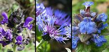 3x Indigo Blue Hardy Perennial Bee plants (Salvia, Centaurea & Ajuga). 9cm pots
