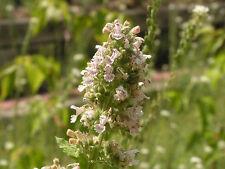 HEIRLOOM CATNIP Nepeta Catara Flower Herb Seeds