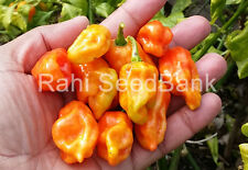 7 Pod Chaguanas Yellow - A Rare Chilli from the Village of Chaguanas, Trinidad!