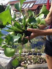5x XXL Filterpflanzen Filterpflanzensortiment Teichpflanzen Teichpfilter Biofilt
