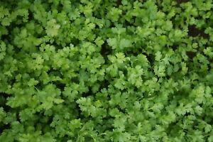 Herb - Coriander Calypso - 2000 Seeds
