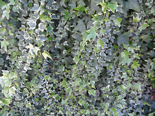 """12 Assorted English Ivy Cuttings 8"""" long no roots healthy organic live plants"""