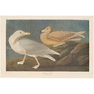 Audubon Amsterdam Ed Dbl Elephant Folio 1971 lithograph Pl 396 Burgomaster Gull