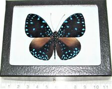 Hamadryas laodamia blue black starry night butterfly Peru framed