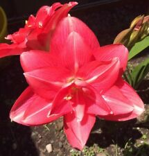 """Dble Hippeastrum  """"perfection """"-  Flowering Size Bulb (in Flower Now) PRETTY"""