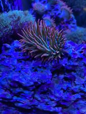 """New listing Rainbow Bubble Tip Anemone, 3""""-4"""", Rose Tentacles, Purple Tips, Live Coral, Rbta"""