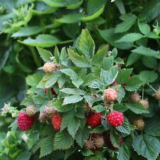 Himbeere Zefa Herbsternte Rubus idaeus Herbstertrag Topf saftig kräftiges Aroma