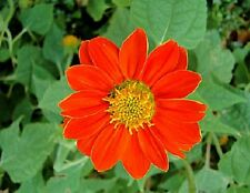 50 Sunflower Seeds Tithonia Speciosa Red Mexican Sunflower