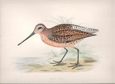 1855 Bird original print Brown Snipe Beverley R. Morris