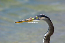 FABULOUS GREAT BLUE HERON CLOSE-UP FINE ART GREETING CARD