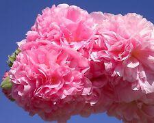 Rosa * riempite bastone ROSE * 15 semi/Seeds * ALCEA rosea * malve * inverno * Hollyhock