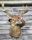 Big Faded Vintage 12pt Whitetail Shoulder Mount Antler Horn Deer Taxidermy