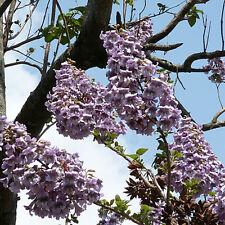 50 x Worlds Fastest Growing Tree Princess Paulownia Tomentosa Seeds Garden Plant