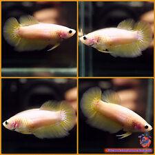 Live Betta Fish Female Yellow Halfmoon #1071