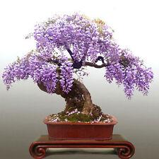 5 Stück Blauregen Wisteria floribunda Samen  Lila Wisteria samen Garten Pflanzen
