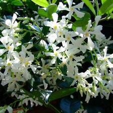 50Pcs White Climbing Jasmine Seeds Fragrant Plant Home Garden Seed
