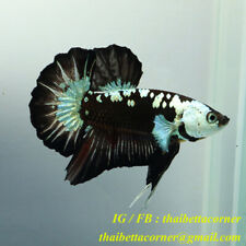 Live Betta Fish Plakad Black Samurai HMPK Ship from THAILAND X size NAM110203