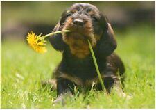 Postkarte: kleiner Dackel mit Löwenzahn im Maul - dachshound puppy with flower