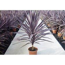 Cordyline Australis Purpurea - Purple Torbay, Cornish Palm - 20 + Fresh Seeds