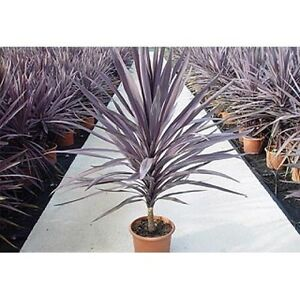 Cordyline Australis Purpurea - Purple Torbay, Cornish Palm - 20 + Fresh Seeds