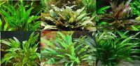Cryptocoryne assorties lot de 4 touffes  plante aquarium facile robuste discus