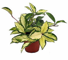 Palme Zimmerpflanzen günstig kaufen | eBay