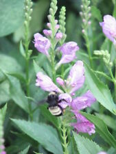 Purple Ironweed,Obedient plant, Yellow primrose Mix Perennial Seeds 3 to 6 ft