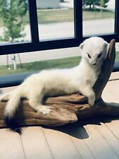 Museum Quality Adorable Weasel Ermine Small Animal Taxidermy Mount Art Wildlife