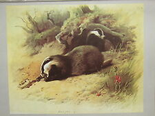 VINTAGE NATURAL HISTORY PRINT ~ BADGER AT SET
