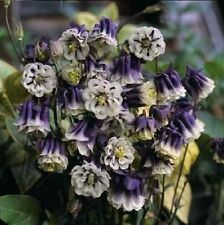 50 Seeds Aquilegia Double Pleat Blue And White Columbine Seeds