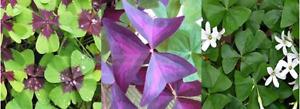 6 x Mixed Oxalis bulbs. 2 x 'Iron Cross' & 2 x Triangularis & 2 x green Oxalis.