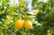 Huile essentielle de Citron d'Argentine - Pure et naturelle - Citrus Limonum