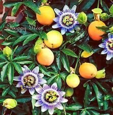 PASSION FLOWER - 30 SEEDS - Passiflora caerulea - CLIMBING PERENNIAL