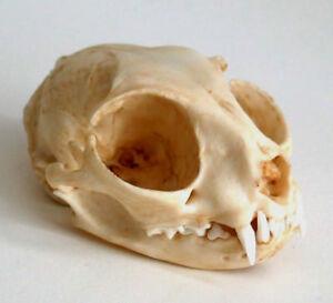 Cat Skull Replica