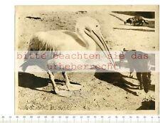 Prensa original de foto: 1963 myconos Peter the Pelican adopted by Greek fischermen