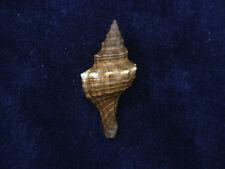 Formosa/shells/Pleuroploca trapezium 36.5mm.small