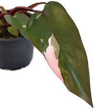 Philodendron Pink Princess - seltene variegate Art des Baumfreund - Must Have