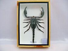 Echter Giant Skorpion (Palamnaeus fulvipes) - in XXL Größe - 3D Box Holz - Neu