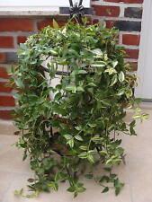 Plant raciné de  Misère OU Tradescantia  plante d'intérieur Vivace