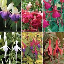 Fuchsia Magellanica 6 Coloured Hardy Shrubs Home Garden Flowering Potted Plants