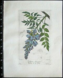 Bessa,P.Flore des Jardiniers,Glycine Sinensis,handcol.Engr.c.1836