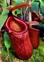 """Nepenthes ventricosa x sibuyanensis """"Jungle Bells"""", Male Rooted Cutting"""