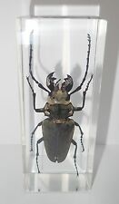 Gray Trictenotomid Beetle Trictenotoma davidi Clear Education Insect Specimen