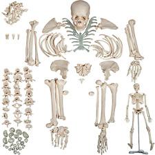 Human Skeleton System Anatomy Medicine Disarticulated Bone Set Medical Students