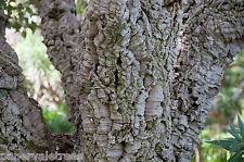 Quercus suber / Cork Oak, beautiful evergreen garden tree grown peat free 2ft+