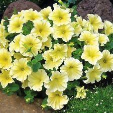 Petunia Prism Sunshine Flower Seeds (Petunia X hybrida) 40+Pellets