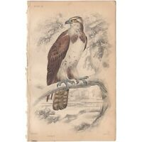 Jardine/Lizars antique hand-colored engraving bird print Pl 14 Osprey