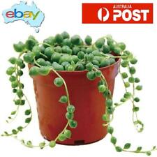 100 X PEARL SUCCULENT PLANT SEEDS - STRING OF PEARLS -